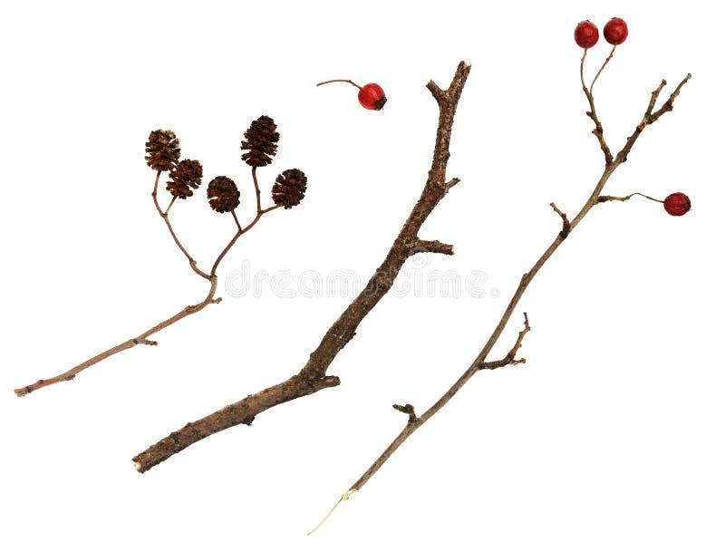 Сухие хворостины с ягодами и конусами стоковые изображения