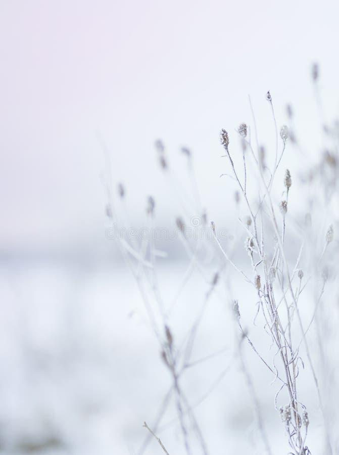 Сухие цветки в заморозке на снежный зимний день стоковое изображение
