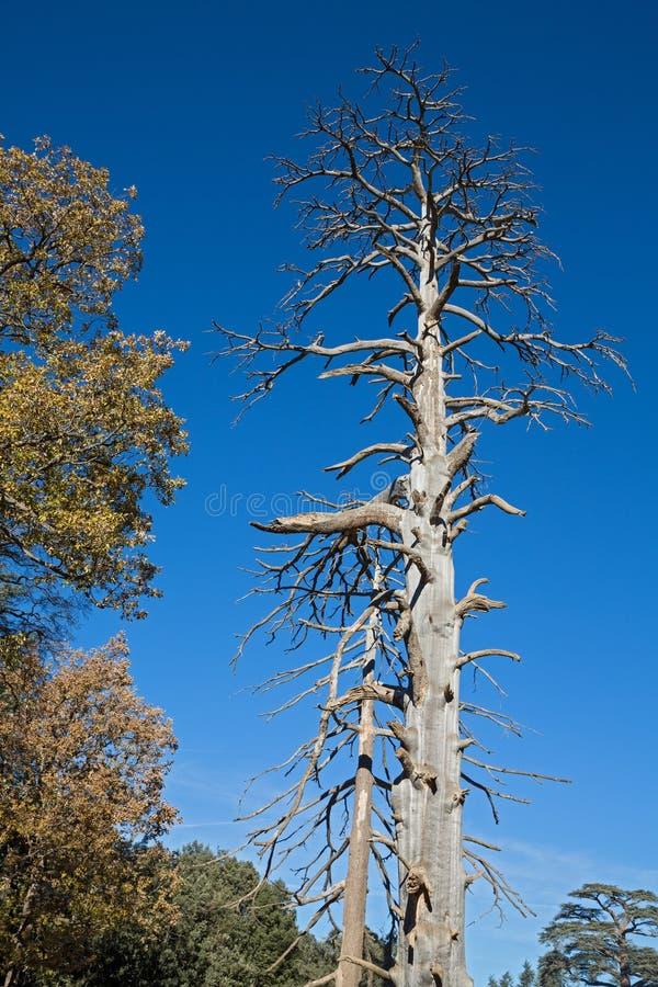 Сухое дерево кедра стоковые изображения