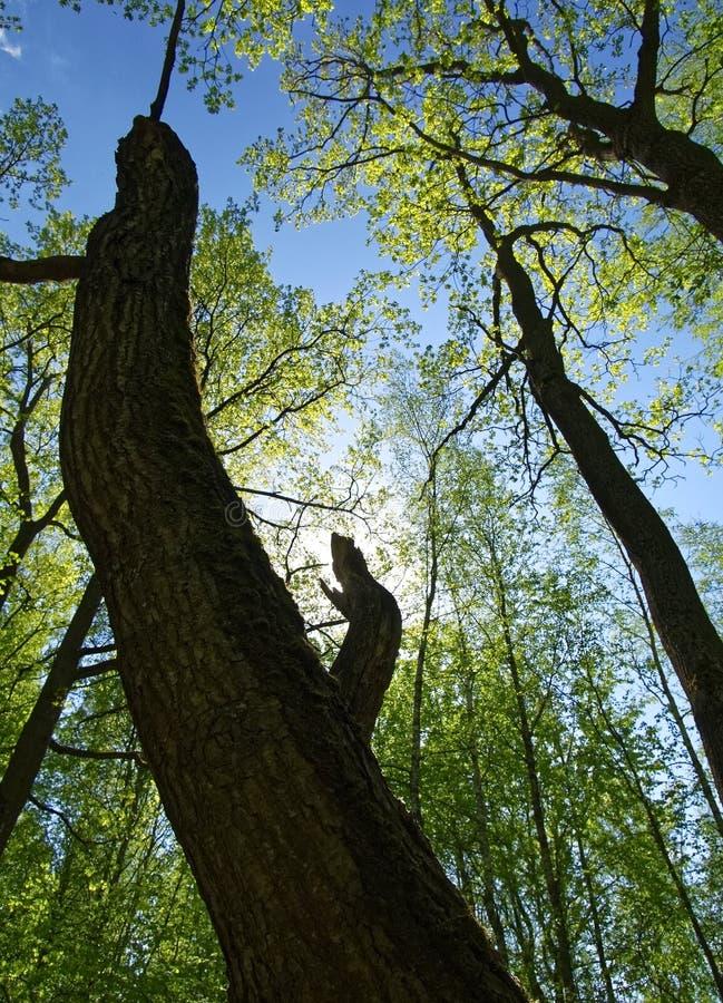 Сухое дерево против голубого неба весной стоковые изображения
