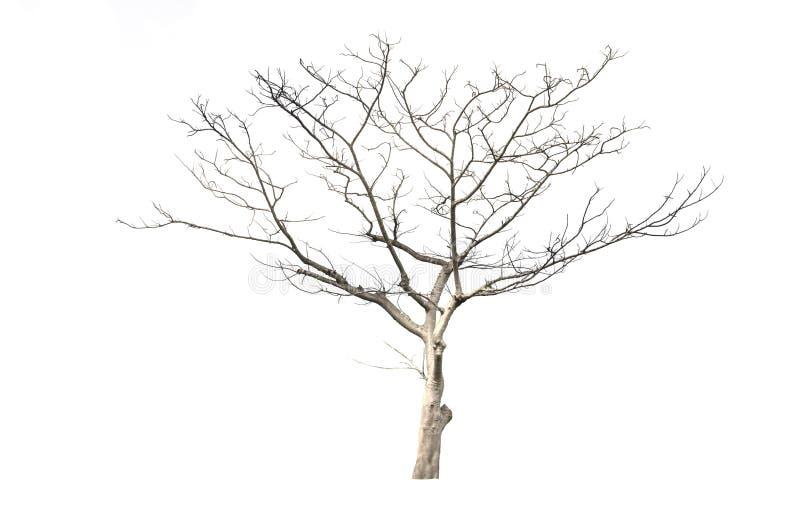 Сухое дерево изолированное на белизне стоковая фотография