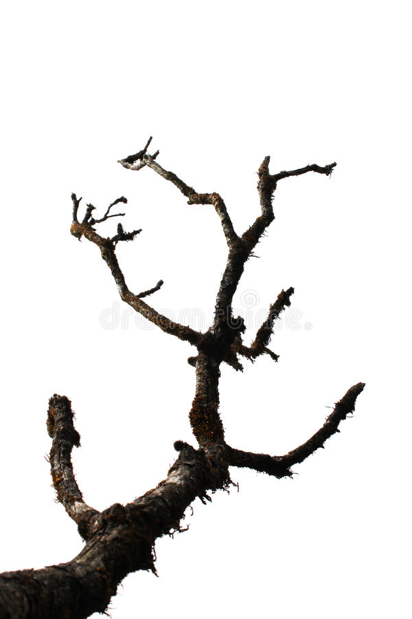 Сухое дерево изолировано на белизне стоковые фото