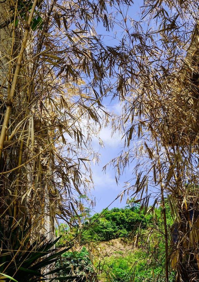 Сухой бамбук в лесе во время лета стоковое изображение rf