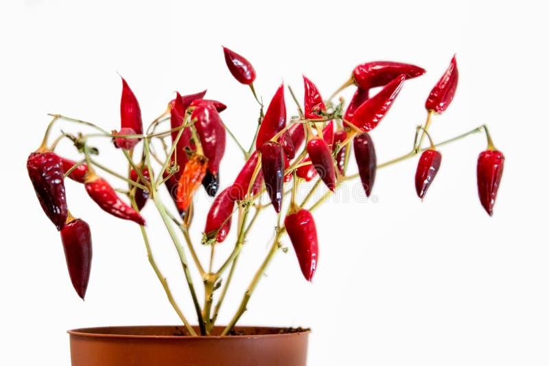 Сухой домашний завод - красные перцы Завод без листьев стоковая фотография rf
