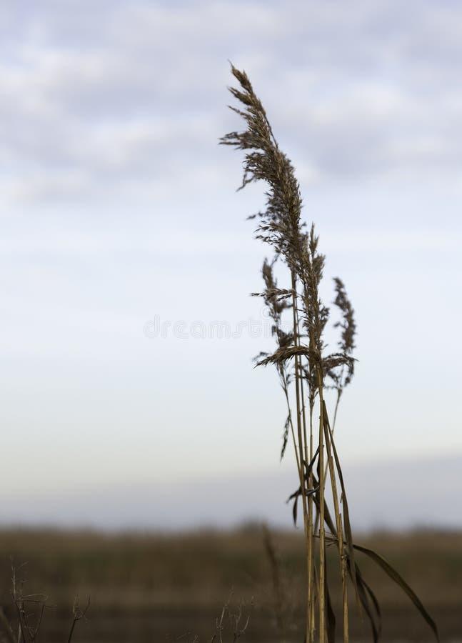 Сухой завод пшеницы стоковые фото