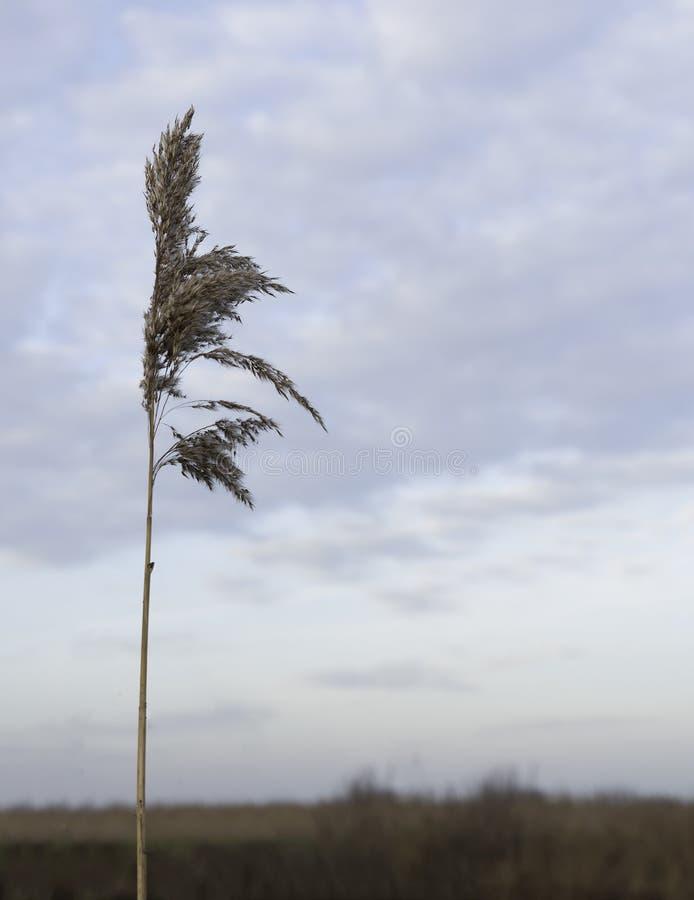 Сухой завод пшеницы стоковые изображения