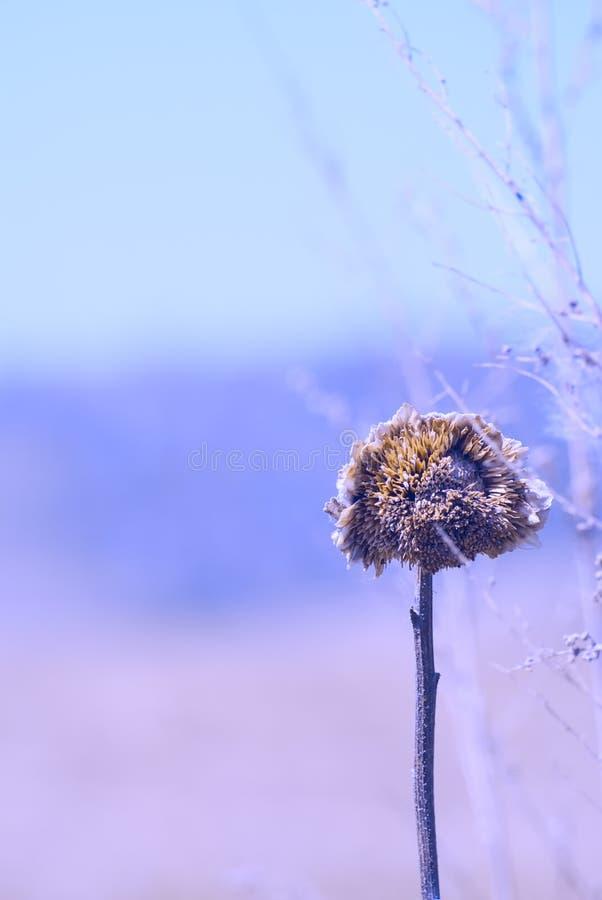 Сухой завод солнцецвета в поле стоковые фотографии rf