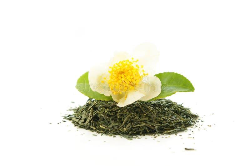 Сухой зеленый чай с цветком чая стоковое изображение