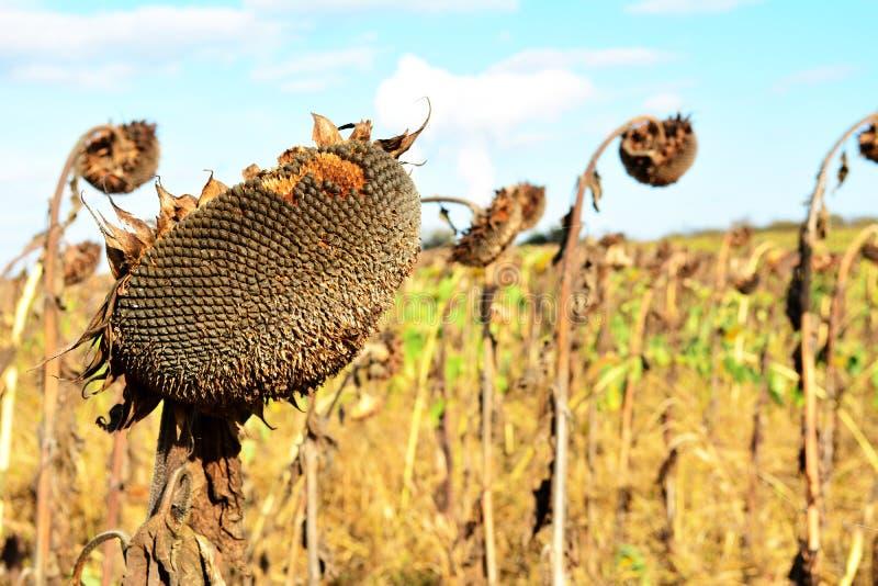 Сухой и вянуть солнцецвет стоковая фотография rf