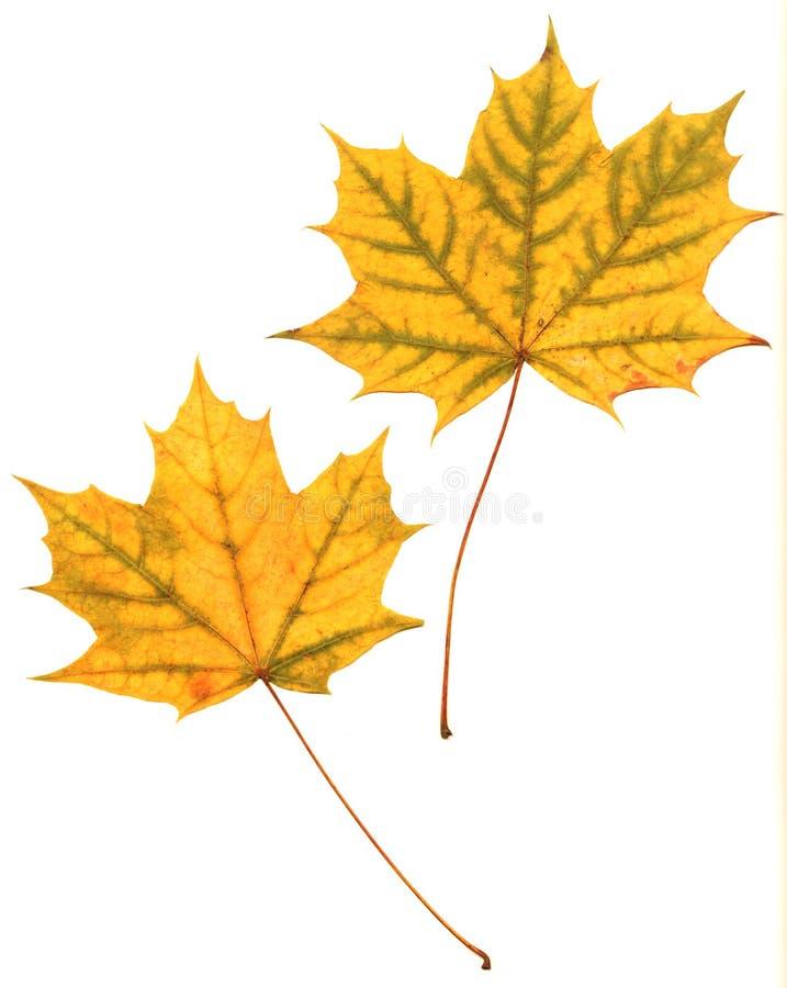 сухой клен листьев отжал стоковые изображения rf