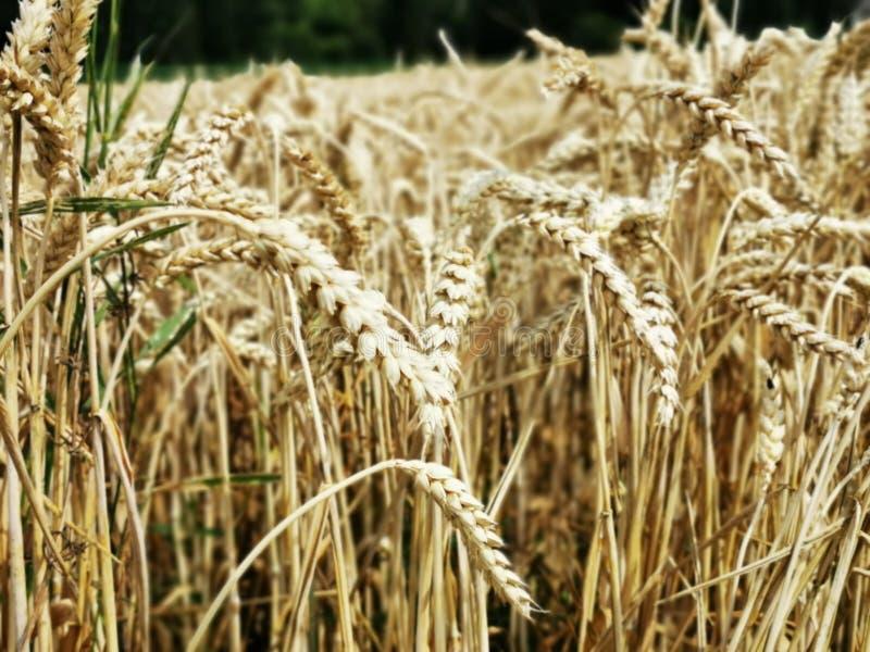 Сухой крупный план травы пшеницы с мобильной камерой стоковое изображение