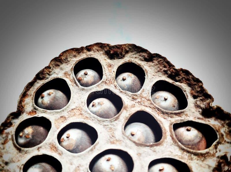 Сухой стручок лотоса, серия отверстий там имеет много семян внутрь, подобия глаза, концепция trypophobia стоковое изображение rf