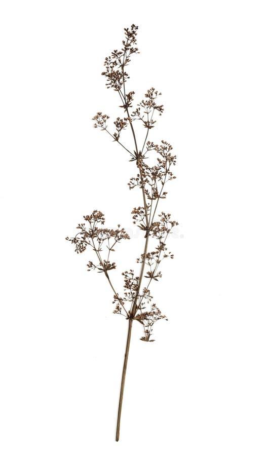 Сухой цветок на белизне стоковая фотография