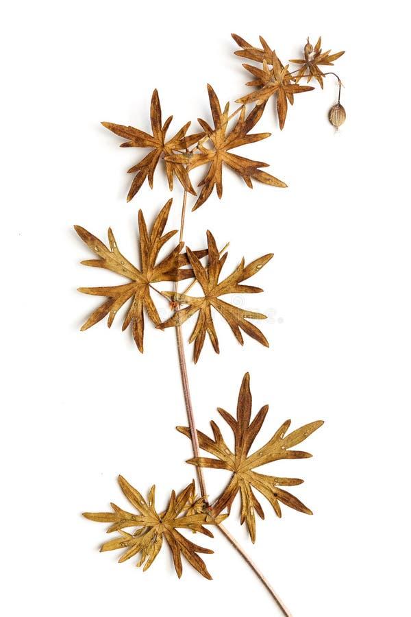 Сухой цветок на белизне стоковое фото