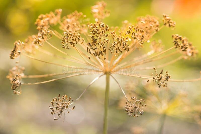 Сухой цветок укропа в солнечном свете Конец-вверх семян фенхеля стоковое изображение