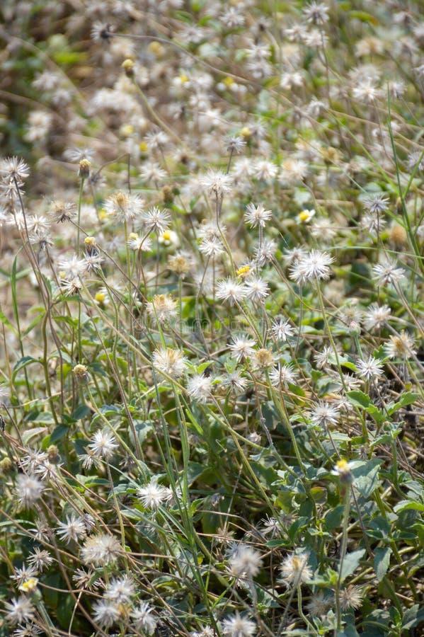 Сухой цветок coatbuttons стоковая фотография