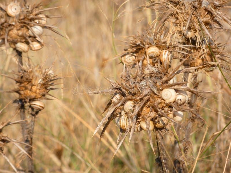 Сухой цветок thistle, полный улиток стоковые изображения