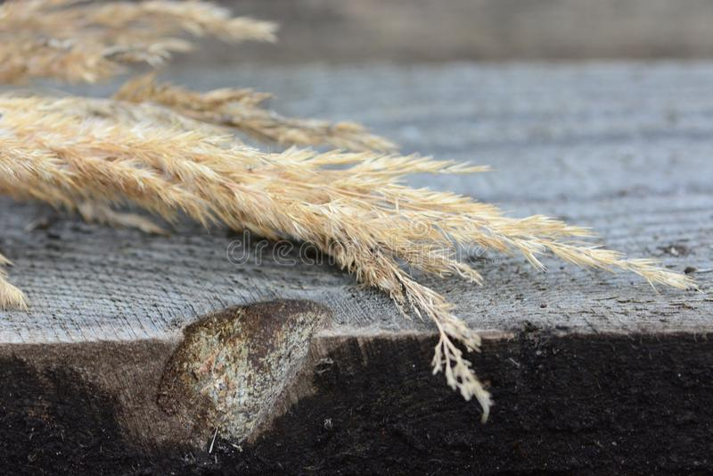 Сухой Calamagrostis на деревянном столе стоковые фото
