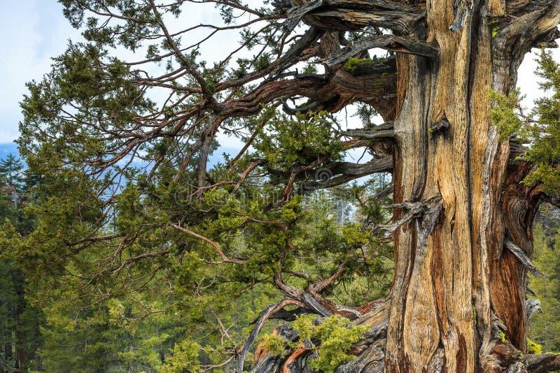 Сучковатое старое дерево кедра стоковая фотография