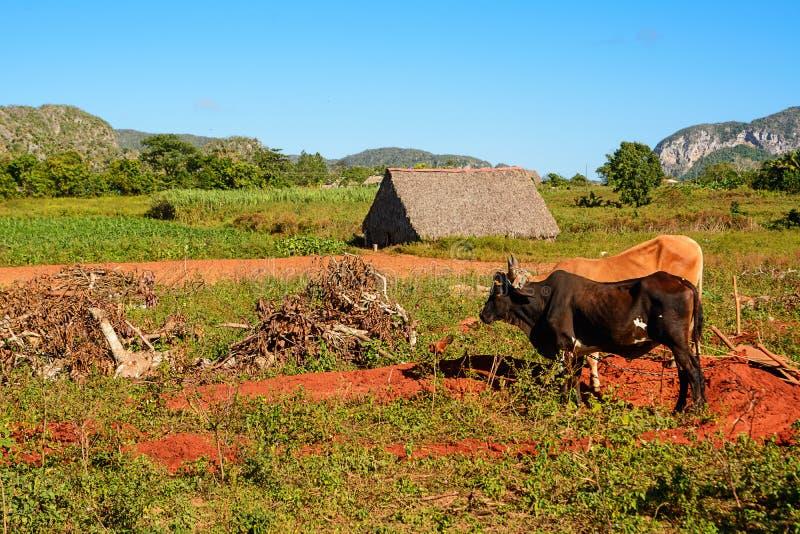 Сушильщик для табака, культивируемые поля табака и волы в Vina стоковая фотография rf
