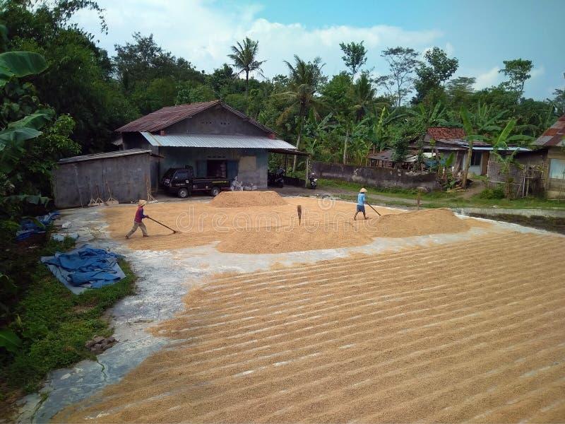 Сушить рис в солнечной погоде стоковое изображение