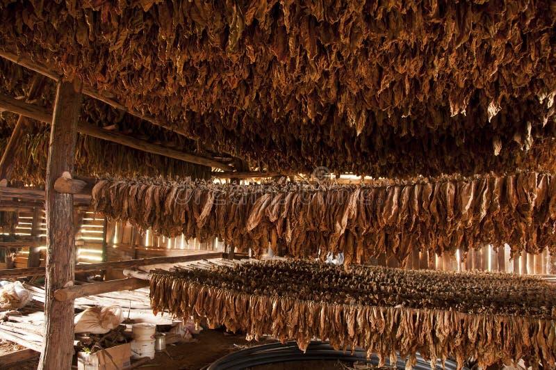 Сушить табака выходит, Vinales, Куба стоковая фотография rf