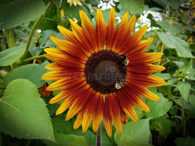 Сфокусированные пчелы на цветке стоковые фото