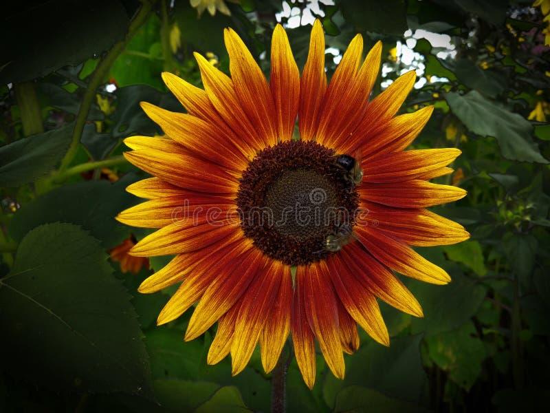 Сфокусированные пчелы на цветке стоковое фото rf