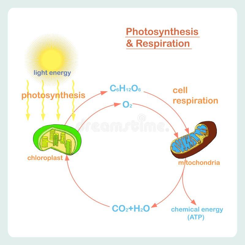 Схема фотосинтеза и дыхания, руки нарисованная биология бесплатная иллюстрация