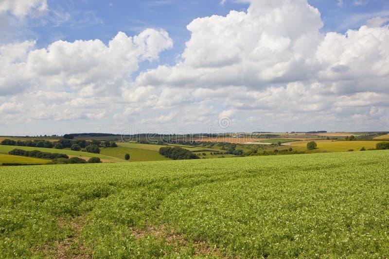 Сценарное поле гороха стоковое изображение rf
