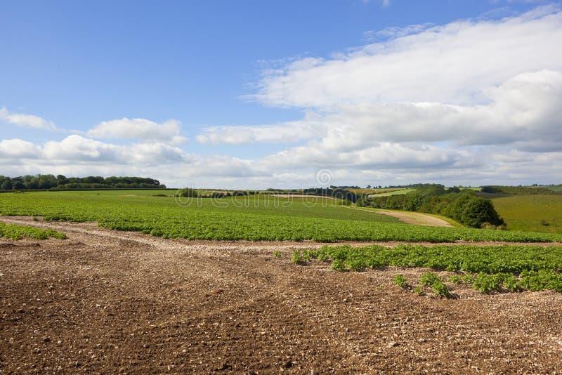 Сценарное поле картошки стоковое фото