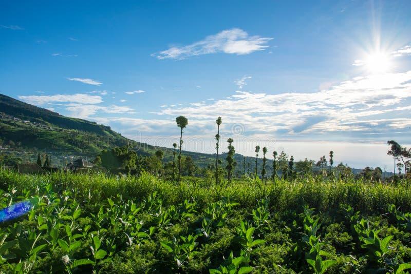 Сценарный взгляд ландшафта табака обрабатывая землю в Индонезии на красивом солнечном утре стоковые фотографии rf
