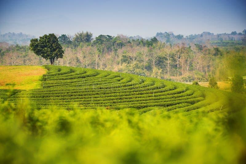 Сценарный взгляд на плантации чая Choui Fong, Chiangrai Таиланде стоковое изображение