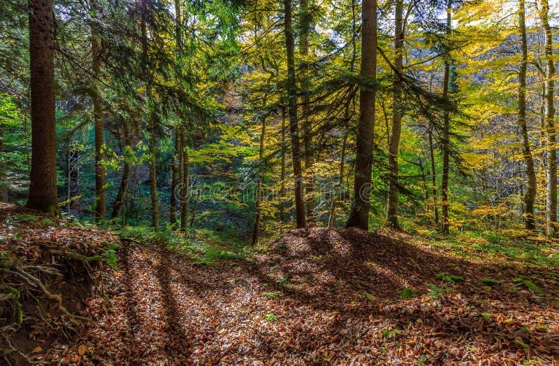 Сценарный ландшафт солнечного золотого леса осени сосен на заходе солнца Западный Кавказ в октябре стоковая фотография