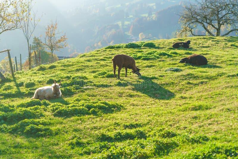 Сценарный ландшафт с овцами и козами, Gruyeres, Швейцарией стоковые изображения rf