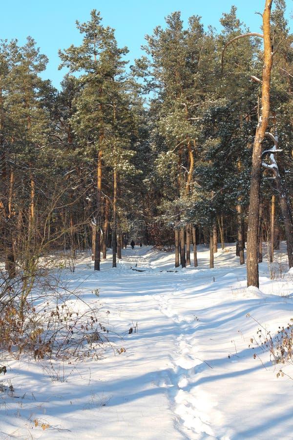 Сценарный покрытый снег лес в зиме стоковое изображение