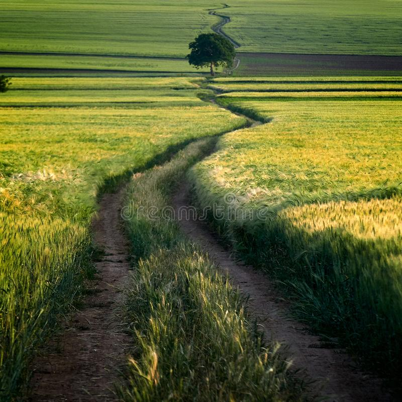 Сценарный сельский ландшафт с зеленым пшеничным полем в лете стоковые фотографии rf