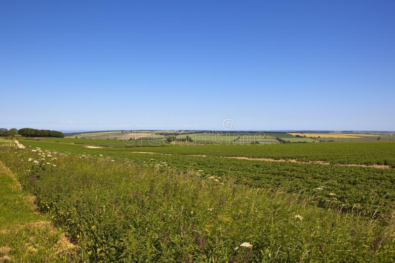 Сценарный урожай картошки стоковое изображение