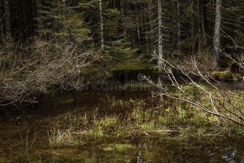 Сцена настроения тайны с озером в предпосылке леса, темном неподвижном конце воды вверх Романтичный ландшафт Чащи и желтые цветки стоковые изображения rf