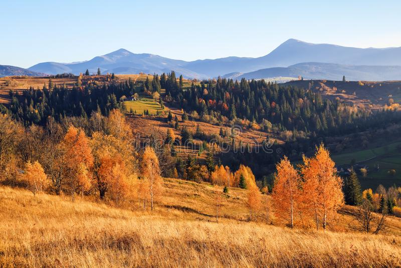 Сцена осени в солнечном дне На высоких горах с плотным лесом славные оранжевые покрашенные деревья на большой лужайке стоковое изображение rf