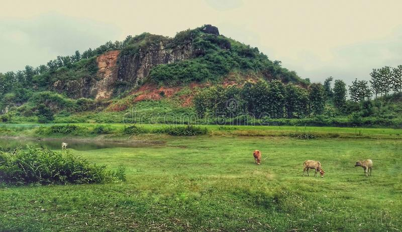 Сцена природы с холмом и коровами в поле стоковое изображение rf