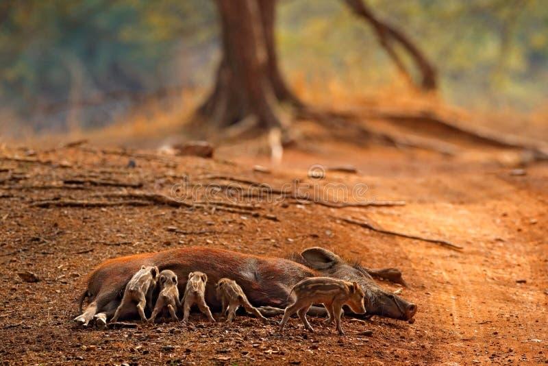 Сцена свиньи живой природы, природа Одичалый поросенок piggy с свиньей Семья свиньи, индийский хряк, национальный парк Ranthambor стоковое фото