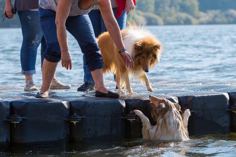 Сцена с собакой которая падают в воду стоковая фотография