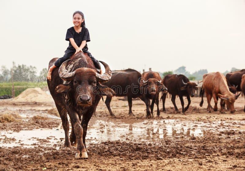Сцена Таиланда сельская традиционная, тайская девушка чабана фермера едет буйвол, клоня буйволы табунит для того чтобы пойти наза стоковые фотографии rf