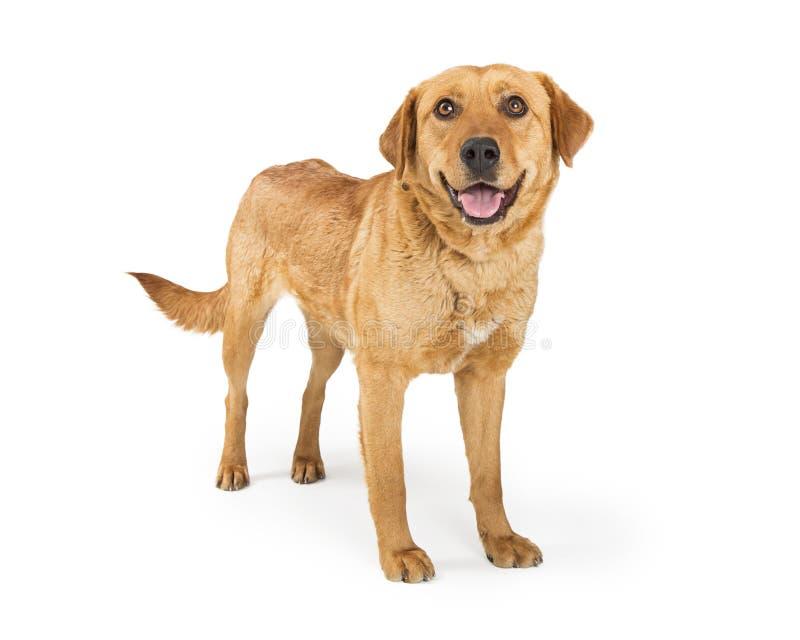 Счастливая взрослая собака Retriever Лабрадора на белизне стоковое фото