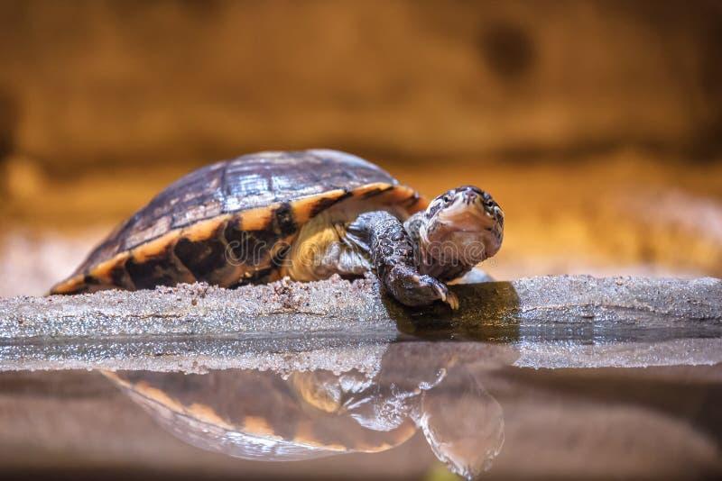 Счастливая водяная черепаха черепахи воды стоковое фото