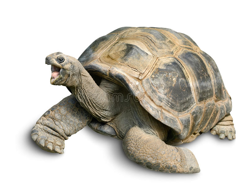Счастливая гигантская черепаха на белизне стоковая фотография