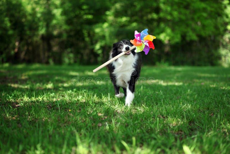 Счастливая Коллиа границы играя с pinwheel стоковое фото rf