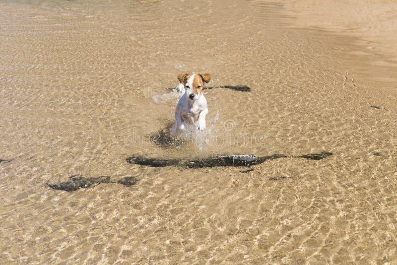 счастливая милая молодая небольшая собака имея потеху на пляже E Праздники Любимцы outdoors lifestyle стоковое фото