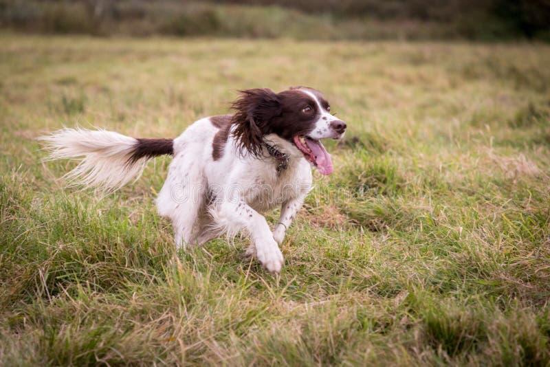 Счастливая собака бежать свободно в поле стоковые изображения